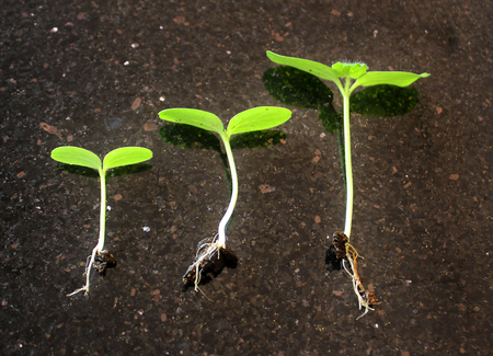 germinated seeds sequence and growth of bean plants