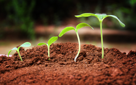Agriculture. Growing plants. Plant seedling.  young baby plants growing in germination sequence on fertile soil with natural green background Stock Photo