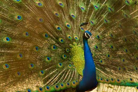 Dancing Peacock Stock Photo - 82083778