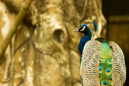 Peacock close-up Stock Photo