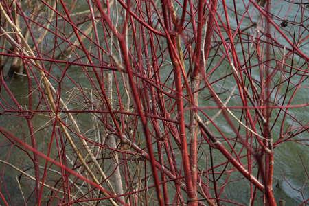 Red Twig Dogwood Archivio Fotografico