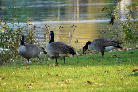 Three Canada Geese Stock Photo