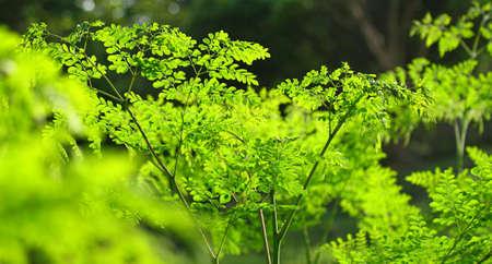 Moringa in the sun, malungay tree 写真素材