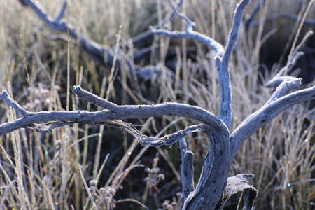 Morning Mood in the bush, dead branches with frost