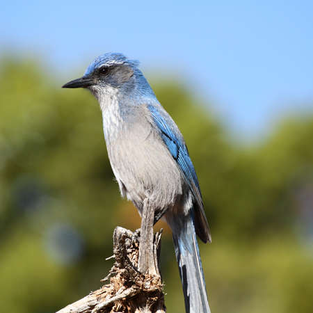 scrub jay, bird in west USA