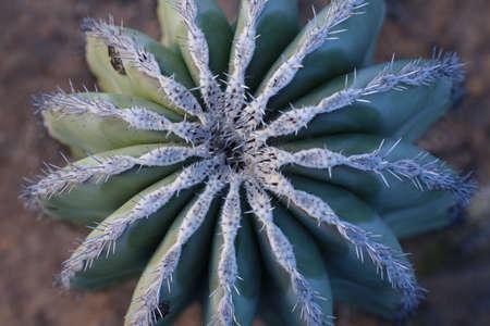 Cactus Closeup view from Top, globe shape