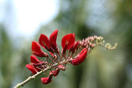 Cockspur Coral Tree Postcard (Erythrina Crista-Galli) Stock Photo