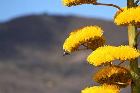 Hummingbird in Flight on a agave flower