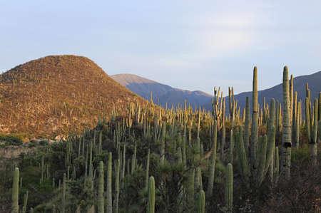bravo: Cactus Forest in Mexico Stock Photo