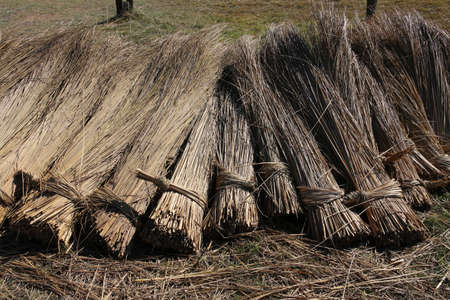Bundles of harvested reed are drying on a meadow. Thatched roof are made with this reed. Stock Photo