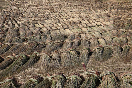 harvested: Bundles of harvested reed are drying on a meadow. Thatched roof are made with this reed. Stock Photo