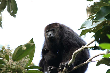 travel features: Guatemalan Black Howler Monkey with a Baby - Baboon