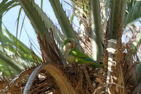 Monk parakeet in a Palmtree Stock Photo