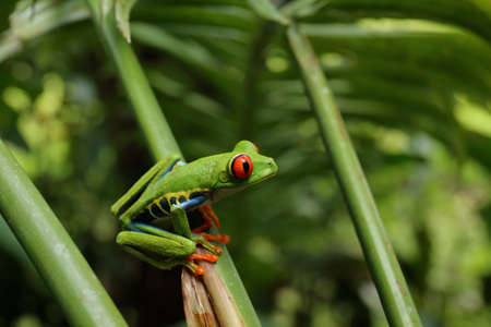 Red eyed Tree Frog or Green Tree Frog