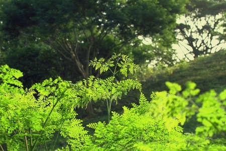 Moringa oleifera Outdoor Picture