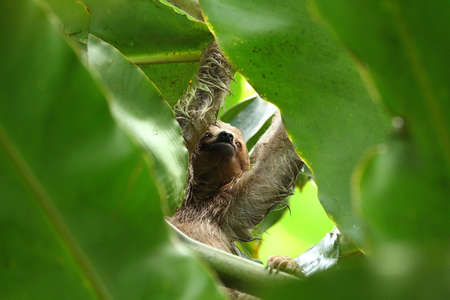 oso perezoso: Pereza en la selva de Centroamérica Foto de archivo