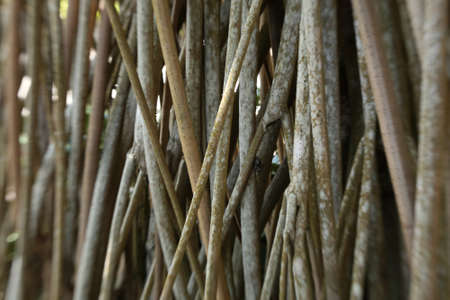 Mangrove Roots - Mangroveforest Stock Photo