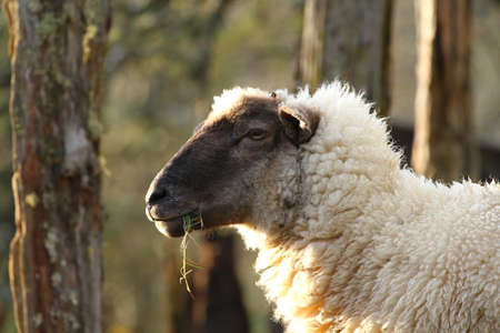 Sheep in Southamerica. White sheep with a darkbrown face.