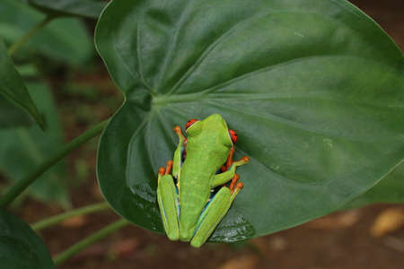 Red Eyed Tree Frog or Green Tree Frog Stock Photo