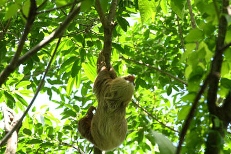A Sloth in the Jungle of Central America