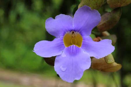 Violets orchid flower close up