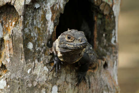 A Iguana in a tree hole, central america Stock Photo