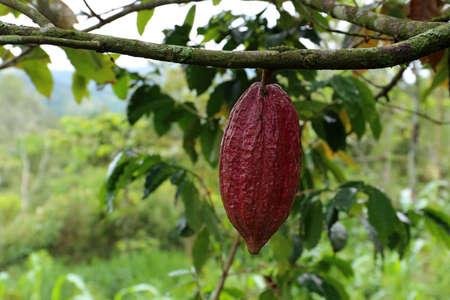 Cacao Tree - Theobroma cacao - Organic cocoa fruit