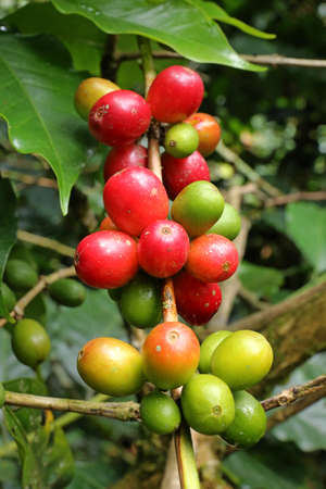 Close up Fresh organic coffee berry, raw cherries coffee beans on coffee tree plantation in Colombia