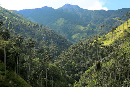 Cocora valley an enchanting landscape towered over by the famous wax palms. Salento, Colombia