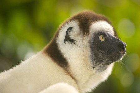 elusive: Lemur silky sifaka