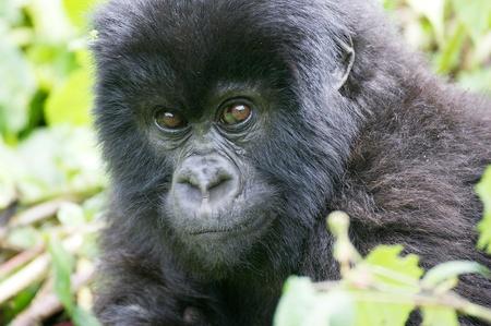 Young mountain gorilla  Lizenzfreie Bilder