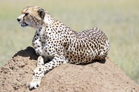 Cheetah portrait  photo