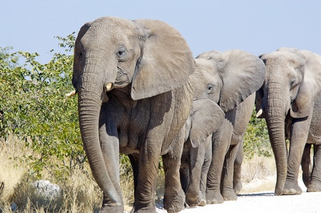 African elephant herd ,Namibia photo