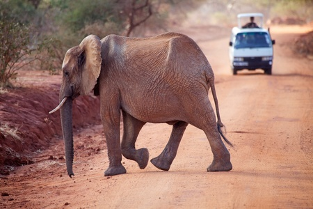 tsavo: African elephant (Loxodonta africana) is crossing the road at the Tsavo East National Park, Kenya