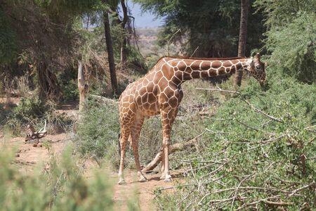 camelopardalis reticulata: Guraffe reticulated (Giraffa camelopardalis reticulata)