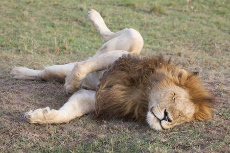 Amazing african lion (Panthera leo). The king is sleeping