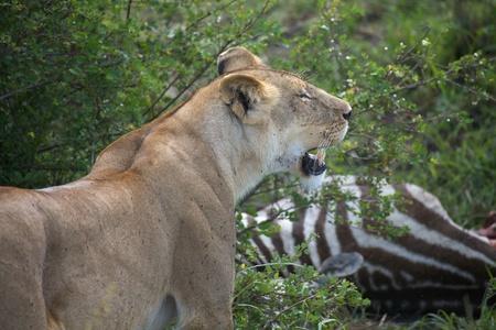 African lioness (Panthera leo) has killed a zebra (Equus burchellii) Stock Photo - 11595260