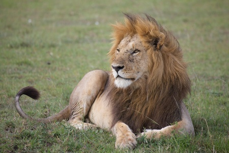 African lion (Panthera leo). Animal in the wild