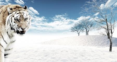 panthera tigris: Tigre (Panthera tigris) en el campo de nieve de fondo. Animales en la naturaleza