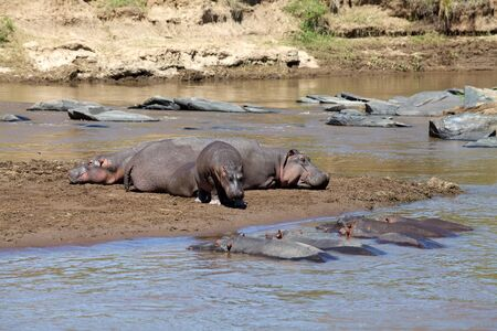 Young and adult hippopotamus (Hippopotamus amphibius) on the Mara rive at the Masai Mara National Park Kenya photo