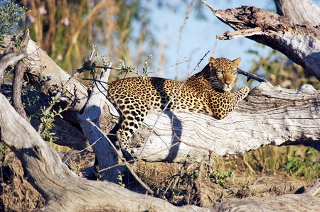 Leopard  Panthera pardus  at the Kafue National Park Zambia