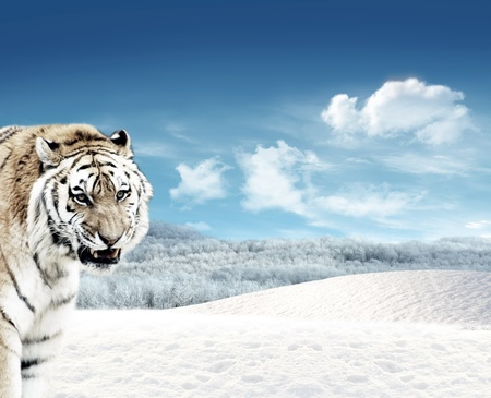 Tiger (Panthera tigris) in the snowfields with blue sky and clouds in the background Stock Photo