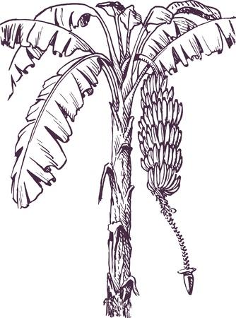 banana leaf: Banana tree with banana fruit and banana flower