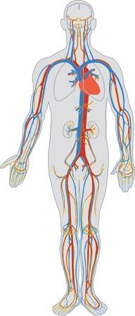 Human body and blood circulation Illustration