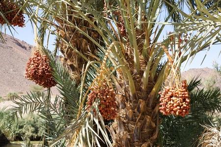 dactylifera: Date fruits on the Date palm  Phoenix dactylifera