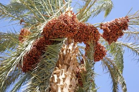 dactylifera: Date palm tree  Phoenix dactylifera  with dates