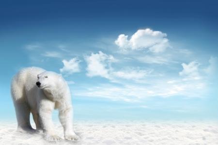 백그라운드에서 푸른 하늘과 구름과 북극 팩 북극곰 (우수 스 maritimus)