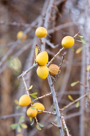 Fruits of the argan tree. Thesse fruits are used for obtain the argan oil, used in cosmetic industry an also in the food industry Stock Photo - 17087419