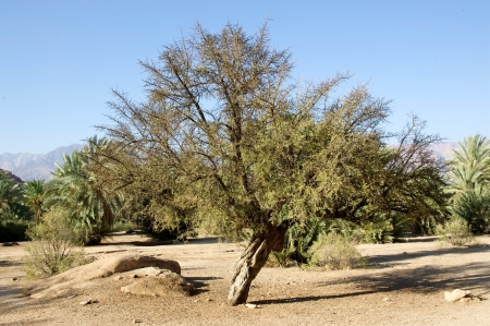 모로코의 남쪽에있는 아르간 트리