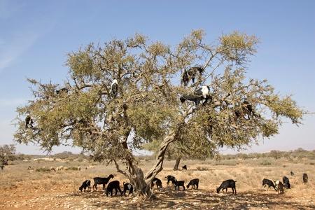 Ziegen sind auf dem Baum, Argan (Argania spinosa) Essen, im S�den von Marokko